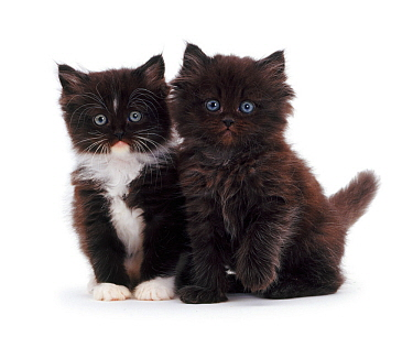 Black-and-white and chocolate kittens.