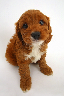 Cavapoo puppy, Cavalier King Charles Spaniel x Poodle, age 6 weeks, sitting and looking up.
