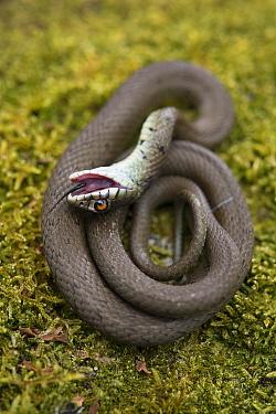 Grass snake (Natrix natrix) juvenile playing dead, Alvao, Portugal, April.
