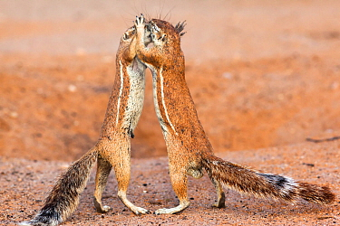 Male and female Ground squirrels (Xerus inauris) interacting, Kgalagadi Transfrontier Park, Northern Cape, South Africa, February.