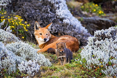 Ethiopian wolf (Canis simensis) adult watching young cub exploring, Bale Mountains, Ethiopia, December.