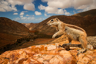 Barbary ground squirrel (Atlantoxerus getulus) in arid mountain habitat. Fuerteventura, Canary Islands, Spain. April.