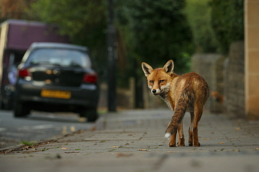 Urban Red fox (Vulpes vulpes), adult male (dog). Bristol, UK. August.