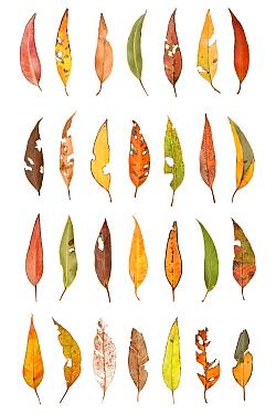 Eucalyptus Leaf Composite (Eucalyptus sp) Denmark Shire, Warren Bioregion, Western Australia. Meetyourneighbtous.net project