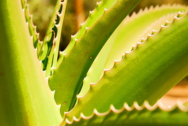 Close up of Sisal (Agave sisalana) Berenty, south Madagascar.