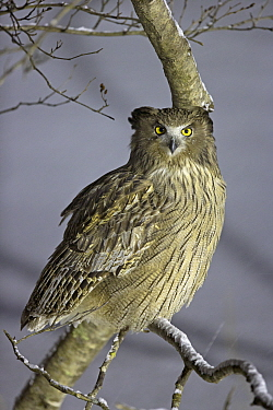 Blakiston's Fish Owl (Ketupa blakistoni) perched, Hokkaido, Japan, February.