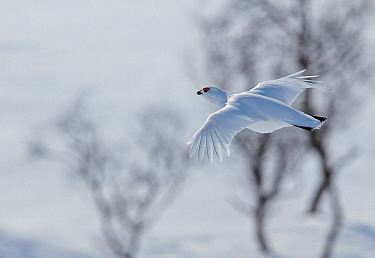 Willow Grouse (Lagopus lagopus) in flight over snowy landscape, Utsjoki, Finland April