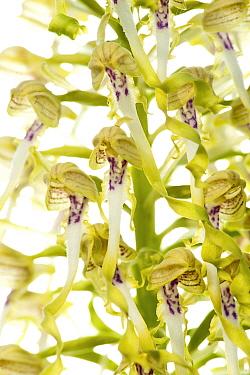 Lizard orchid flowers (Himantoglossum hircinum), Ilbesheim, Rhineland-Palatinate, Germany, May. meetyourneighbours.net project