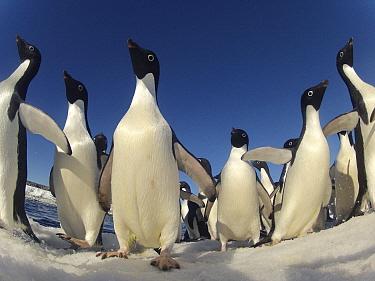 Adelie penguin (Pygoscelis adeliae) group, Antarctica.