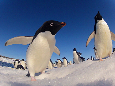 Adelie penguins (Pygoscelis adeliae) wide angle portrait of two with larger group in background, Antarctica.