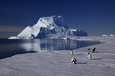 Adelie penguins (Pygoscelis adeliae) preening at edge of ice, Antarctica.