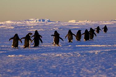 Adelie penguins (Pygoscelis adeliae) travelling to the ice edge to feed, Antarctica.