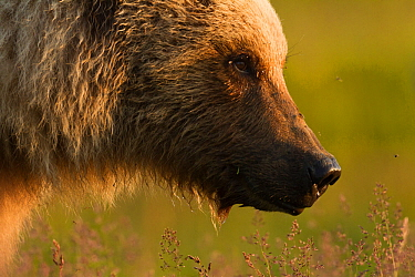Grizzly bear (Ursus arctos horribilis) Katmai National Park, Alaska, USA, August.