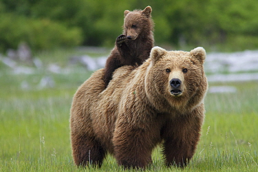 Grizzly bear (Ursus arctos horribilis) female with cub riding on back, Katmai National Park, Alaska, USA, August.
