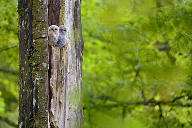 Two tawny owl (Strix aluco) chicks emerging from nest in tree, Luxembourg. May.