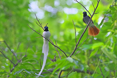 Asian paradise-flycatcher (Terpsiphone paradisi) pair perched on branch, Shanyang town, Gutian County, Hubei province, China.