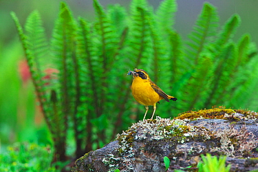 Golden bush-robin (Tarsiger chrysaeus) with insect prey, Kawakarpo Mountain, Meri Snow Mountain National Park, Yunnan Province, China.