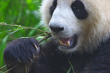 Giant panda (Ailuropoda melanoleuca) feeding, captive at Chengdu Research Base of Giant Panda Breeding, Chengdu City, Sichuan Province, China.