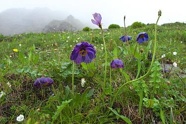 Blue poppy (Meconopsis lyrata) Kawakarpo Mountain, Meri Snow Mountain National Park, Yunnan Province, China.