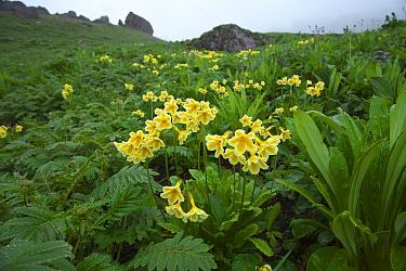 Primula (Primula serratifolia) in habitat, Kawakarpo Mountain, Meri Snow Mountain National Park, Yunnan Province, China.