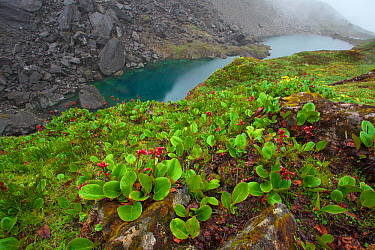 Purple bergenia (Bergenia purpurascens) in flower, Kawakarpo Mountain, Meri Snow Mountain National Park, Yunnan Province, China.