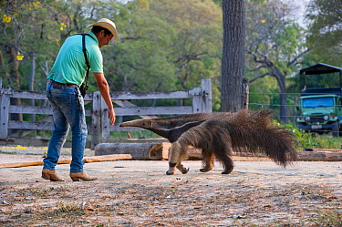 Adult Giant Anteater (Myrmecophaga tridactyla) with Pantaneiro Cowboy, Northern Pantanal, Moto Grosso State, Brazil, South America.