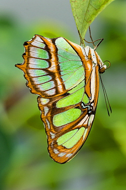 Malachite Butterfly (Siproeta stelenes) hanging upside down on leaf, forest near Napo River, Amazonia, Ecuador, South America.