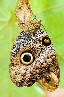 Owl-eye Butterfly (Caligo sp), Amazonia, Ecuador, South America.