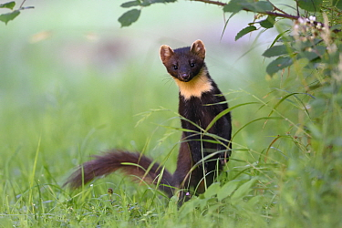 Pine marten (Martes martes) Vosges, France, May.