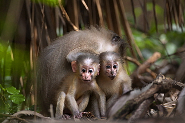 Tana mangabey (Cercocebus galeritus) babies sitting together - portrait. Tana River Forest, South eastern Kenya.