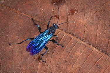 Spider hunting wasp (Pompilidae) Maliau Basin, Sabah, Borneo.