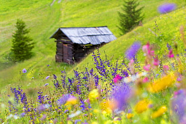 Wildflowers and hut in alpine meadow, Nordtirol, Austrian Alps, July.