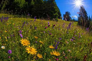 Alpine meadow, Nordtirol, Austrian Alps, July 2014.