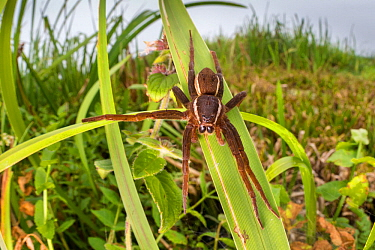Fen raft spider / Great raft spider (Dolomedes plantarius) adult female. Norfolk Broads, UK, September. Vulnerable species.