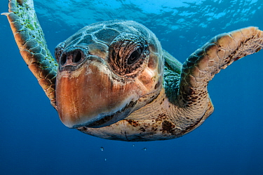 Loggerhead turtle (Caretta caretta) close up, Los Gigantes, South Tenerife, Canary Islands, Atlantic