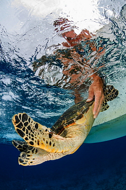 Juvenile Hawksbill turtle (Eretmochelys imbricata) released by biologist after being tagged, Cayman; Cayman Islands Archipelago.