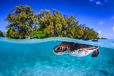 Juvenile Green turtle (Chelonia mydas) swimming near the surface, split level view, Fakarava atoll lagoon, Tuamotu Archipelago, French Polynesia, Pacific Ocean.