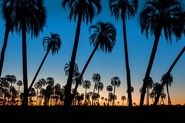 Yatay palm / jelly palm (Batia yatay) trees silhouetted at sunset, El Palmar National Park, Entre Rios Province, Argentina