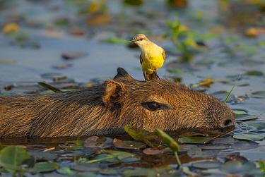 Cattle tyrant (Machetornis rixosus) perched on capibara (Hydrochoerus hydrochaeris)  Ibera Marshes, Corrientes Province, Argentina