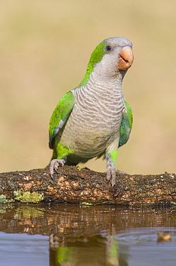 Monk parakeet (Myiopsitta monachus) Calden Forest , La Pampa , Argentina