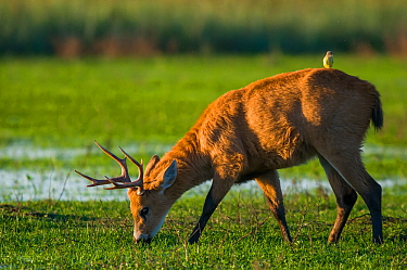 Marsh deer (Blastocerus dichotomus) male with Cattle tyrant  (Machetornis rixosus) on back, Ibera Marshes, Corrientes Province, Argentina.