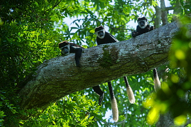 Guereza colobus monkeys (Colobus guereza) in tree, Lango Bai, Republic of Congo (Congo-Brazzaville), Africa.