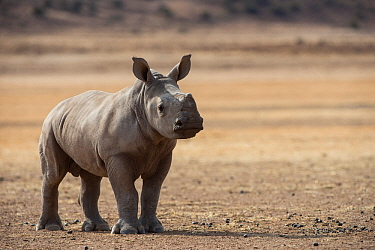White rhinoceros calf (Ceratotherium simum) Great Karoo. Private Reserve, South Africa. Endangered species