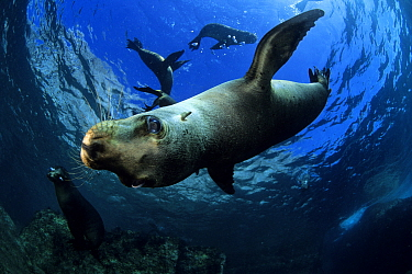 California sea lion (Zalophus californianus), Los Islotes, Sea of Cortez, Baja California peninsula, Mexico, East Pacific Ocean.