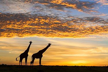 Masai giraffes (Giraffa camelopardalis tippelskirchi), at sunrise, Masai-Mara Game Reserve, Kenya. March.