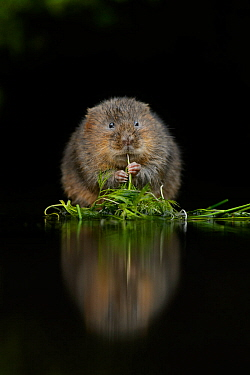 Water vole (Arvicola amphibius) feeding at edge of water, Kent, UK, December.