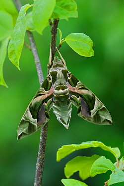 Oleander Hawkmoth (Daphnis nerii) resting, Southern Sicily, Italy. March.