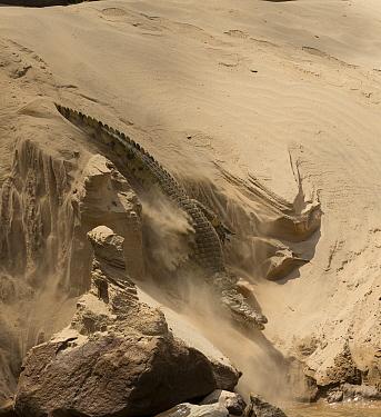 Nile crocodile (Crocodylus niloticus) making its way through sand  to the Rufiji Rive, Selous Game Reserve, Tanzania.