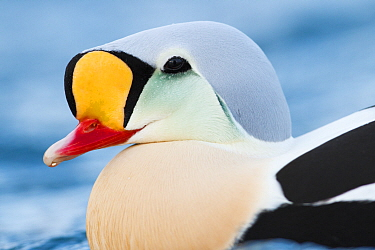 Adult male King Eider (Somateria spectabilis) close up portrait, Batsfjord, Norway, March.