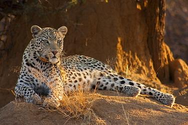 Leopard (Panthera pardus) resting,  Erindi Game Reserve, Namibia.